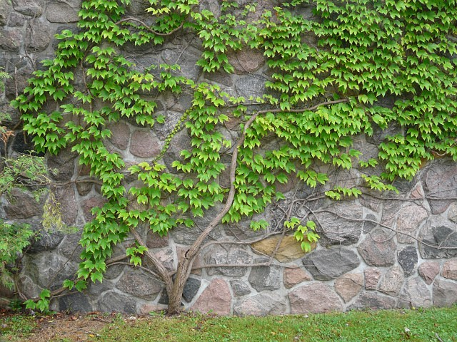 IVY Creepers For Backyard