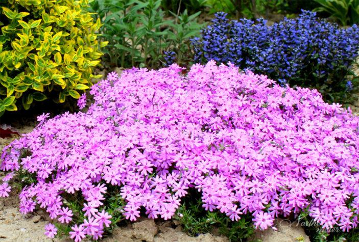 Moss Phlox Garden Design.