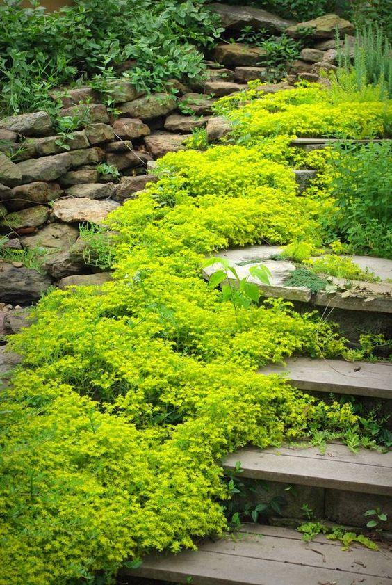 Sedum Sarmentosum Plant