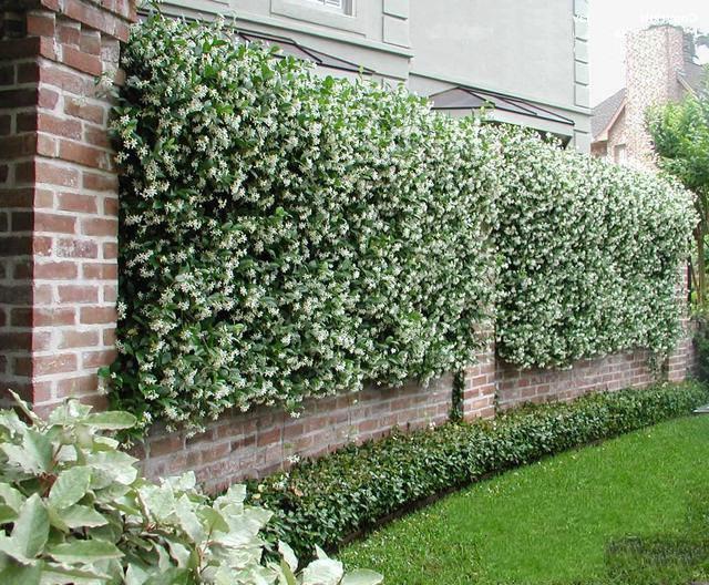 Brick fence decorated with jasmine bushes