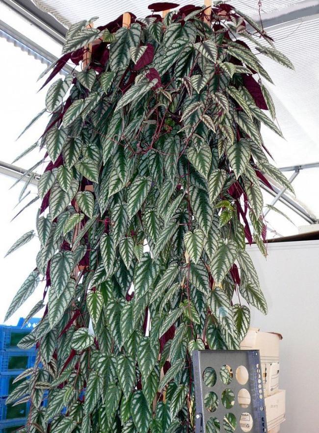 Cissus bicolor