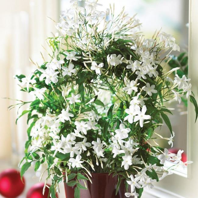 Lovely homemade jasmine