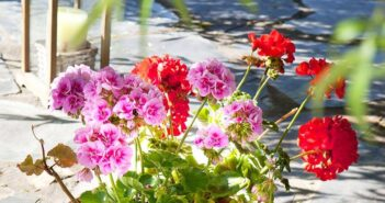 GERANIUM FOR SKIN CARE