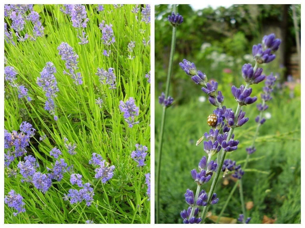 Lavender is one of the most popular aromatic herbs