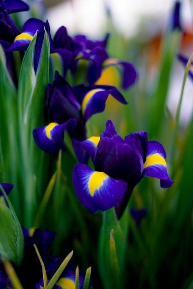 Bright iridodictium also belongs to primroses