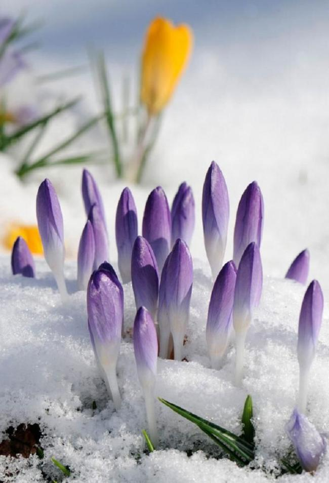 Even before they open up and under the snow, the crocuses look bright and beautiful