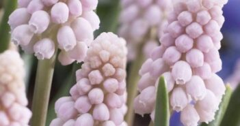 Japanese muscari is pink