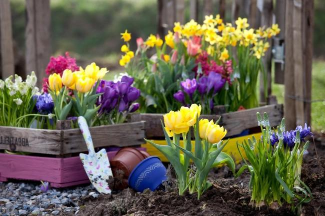 Many of the primroses can be planted both in the ground on the site, and in pots, which can also be used to decorate your garden.