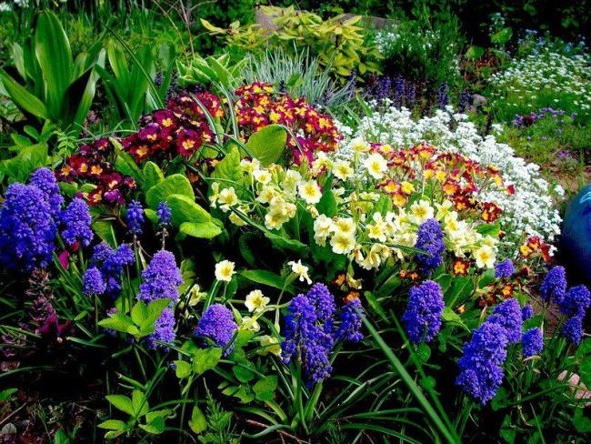 Plant primroses and they will delight you with their colors after a cold winter