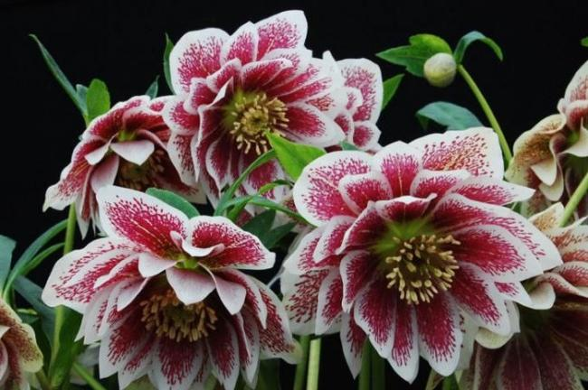 The hellebore is one of the most beautiful spring flowers