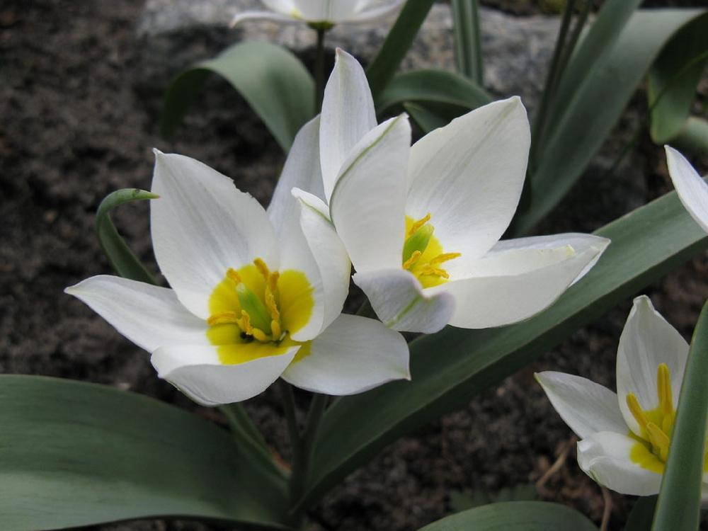 Two-flowered tulip (lat.Tūlipa biflōra)