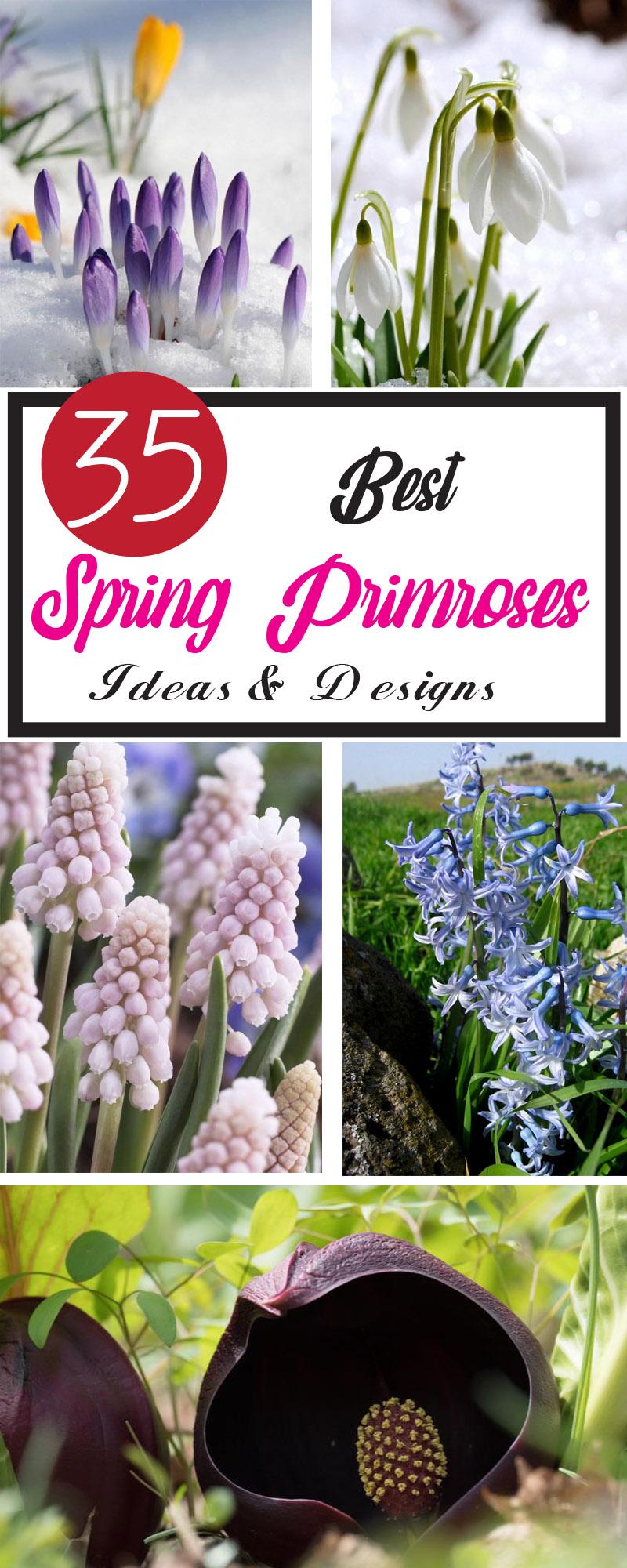 best spring primroses ideas and designs