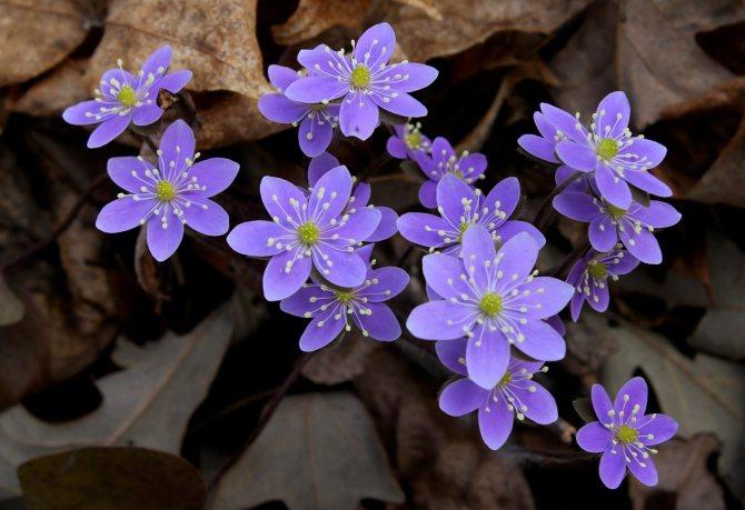liverwort (name in Latin Hepatica) Rare Primroses
